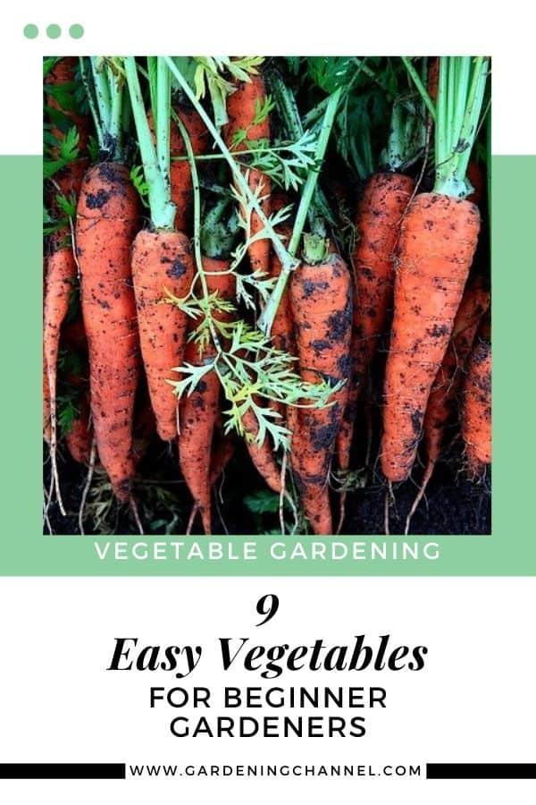 freshly harvested carrots with text overlay vegetable gardening nine easy vegetables for beginner gardeners