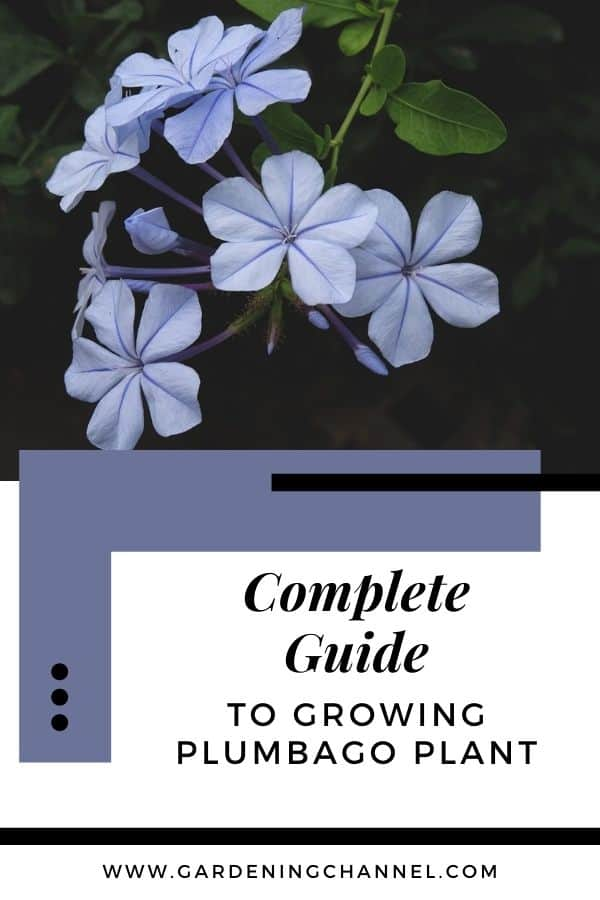blue plumbago with text overlay complete guide to growing plumbago plant