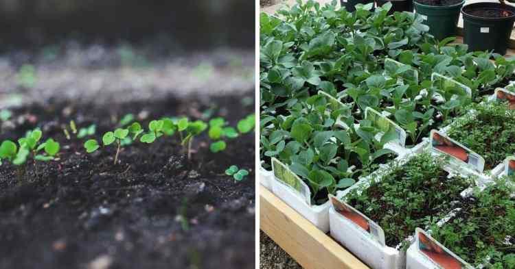 seedlings vs starter plants