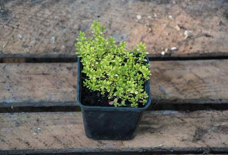 thyme plant container