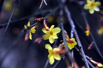growing winter jasmine