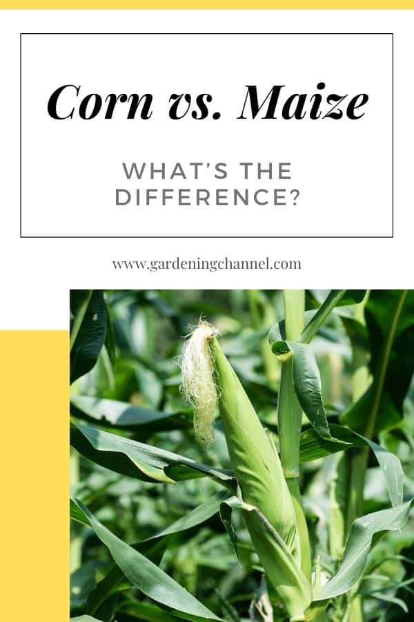 maize in field with text overlay corn versus maize what's the difference