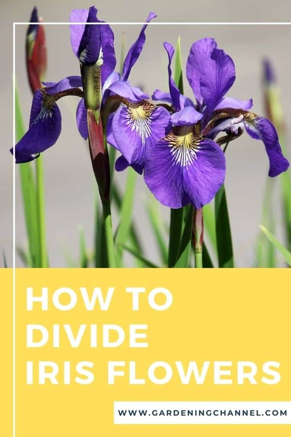 iris in garden with text overlay how to divide iris flowers
