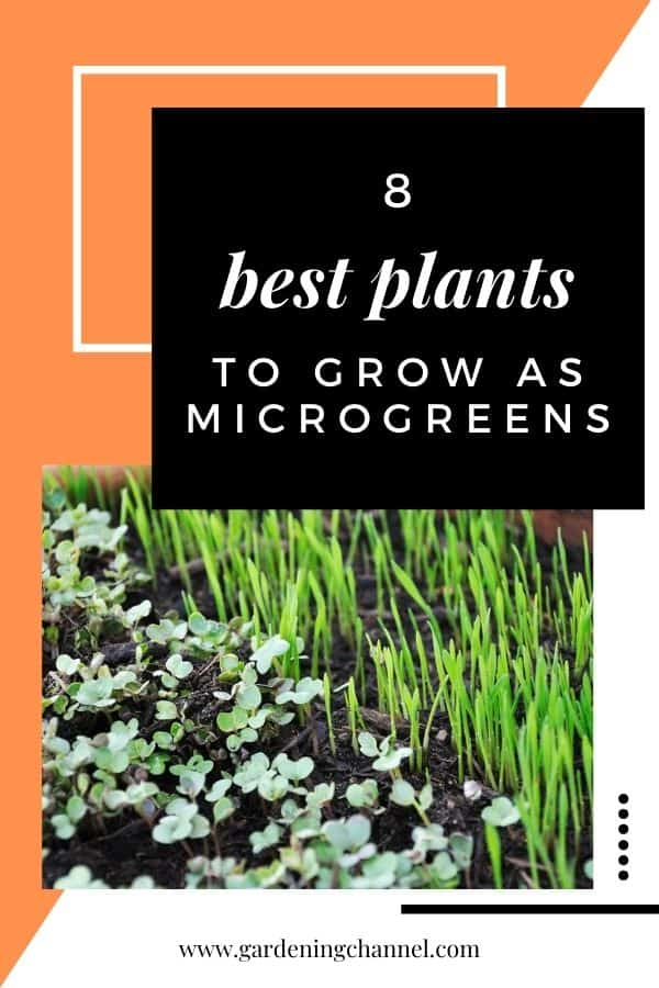 microgreens growing with text overlay eight best plants to grow as microgreens