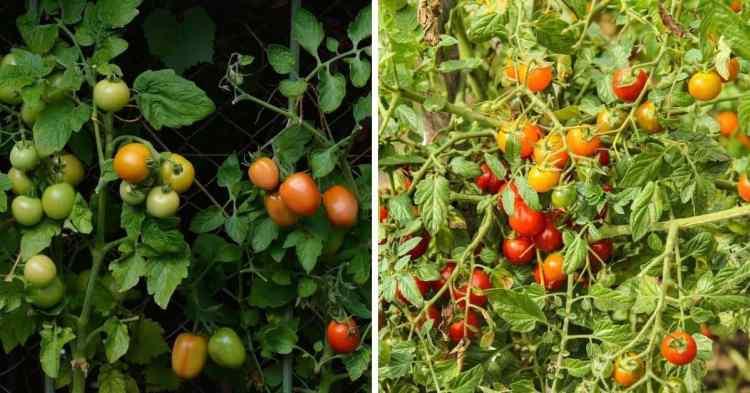 bush and vine tomatoes