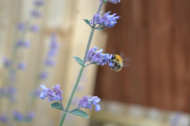 growing catmint