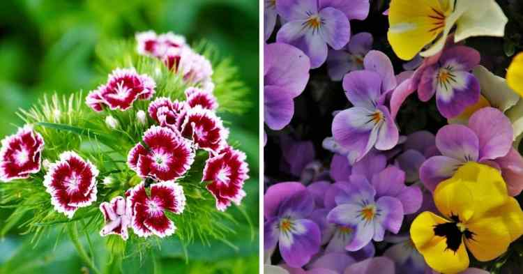 growing cold ready annuals