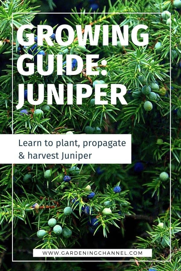 juniper berries with text overlay growing guide juniper learn to plant propagate and harvest juniper