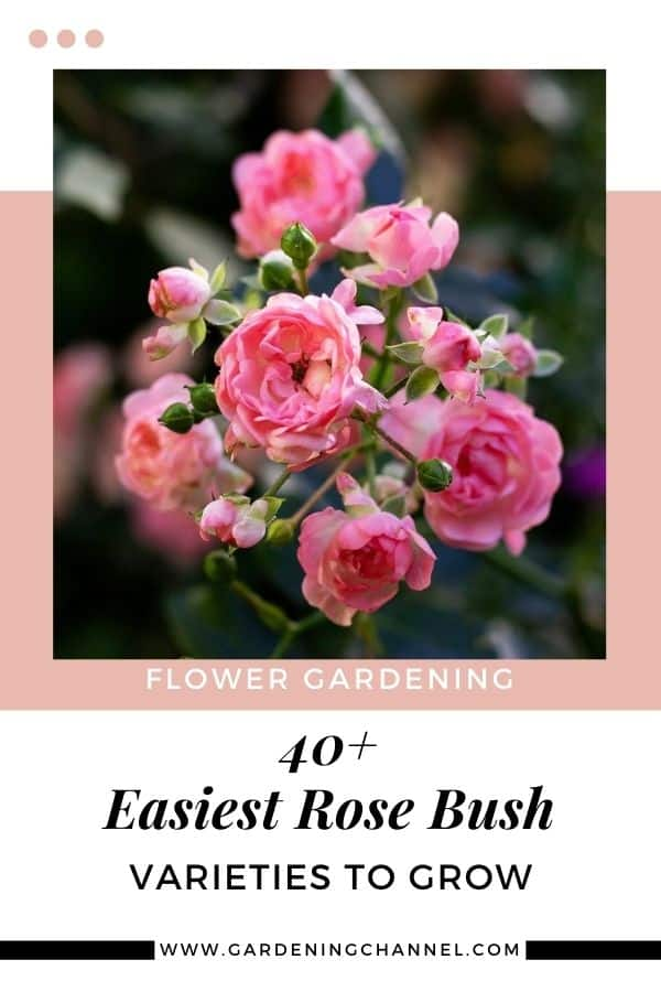 pink roses with text overlay flower gardening forty plus easiest rose bush varieties to grow