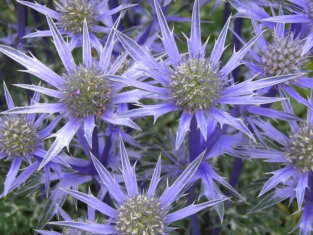 growing and drying sea holly