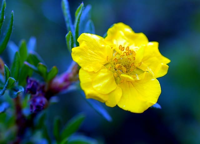 goldfinger shrub