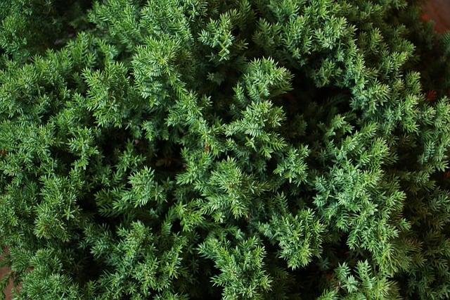 growing juniper