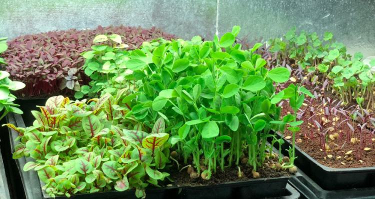 different microgreens growing
