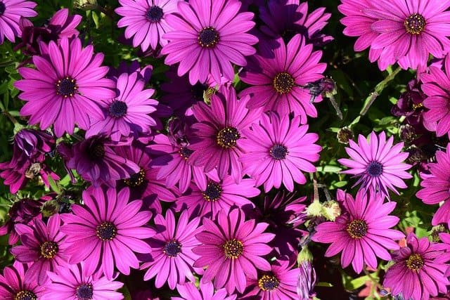 growing African daisies