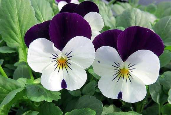 growing viola