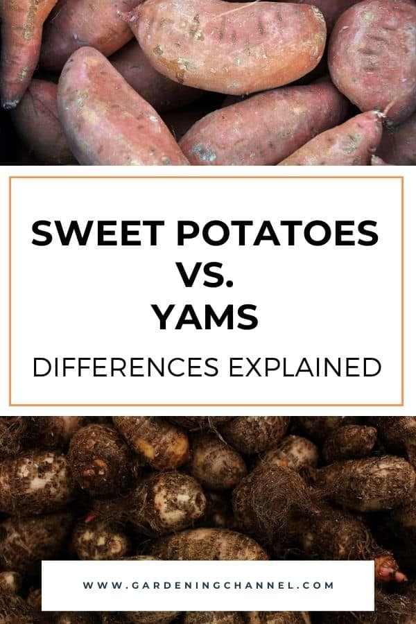 harvested sweet potatoes and harvest yams with text overlay sweet potatoes versus yams differences explained