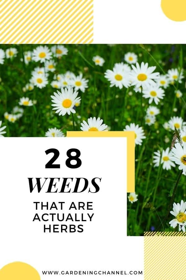 feverfew with text overlay twenty eight weeds that are actually herbs
