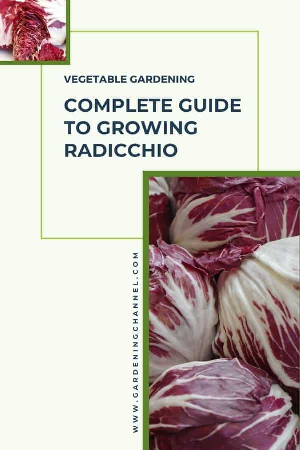 sliced and harvested Radicchio with text overlay vegetable gardening complete guide to growing Radicchio