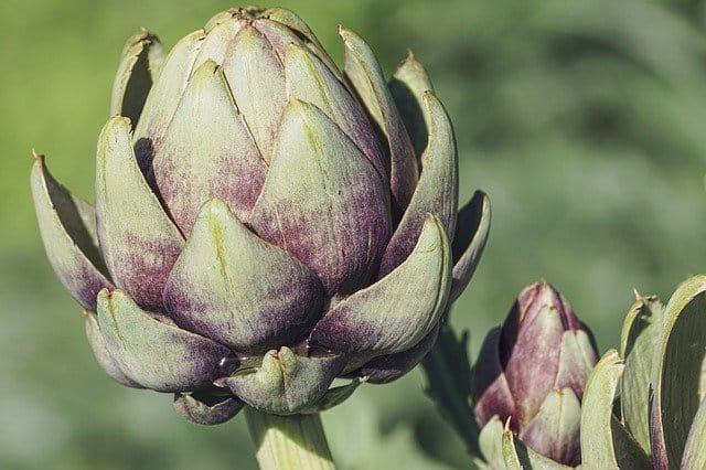artichokes cold weather growing