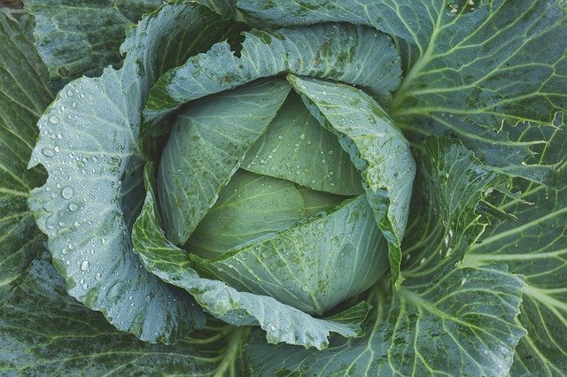 growing cabbage