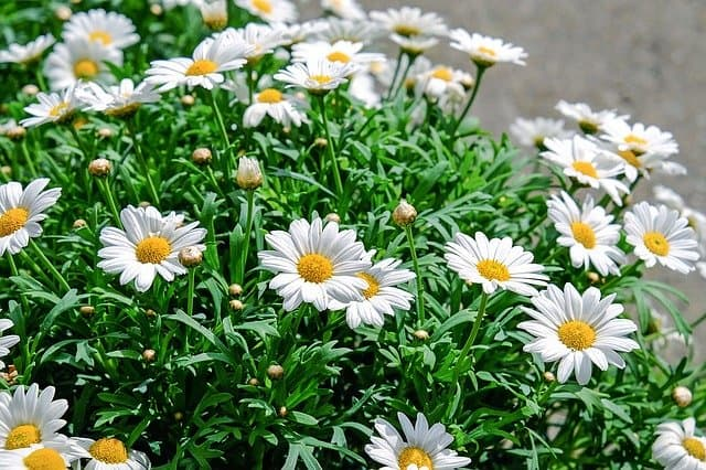 growing daisies to attract birds