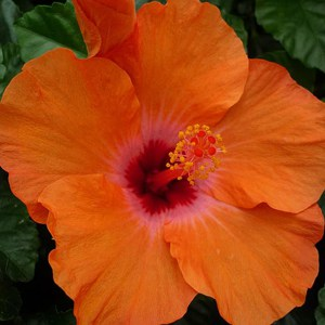 Rose of Sharon specimen tree form, tropical and hardy hibiscus flower bloom
