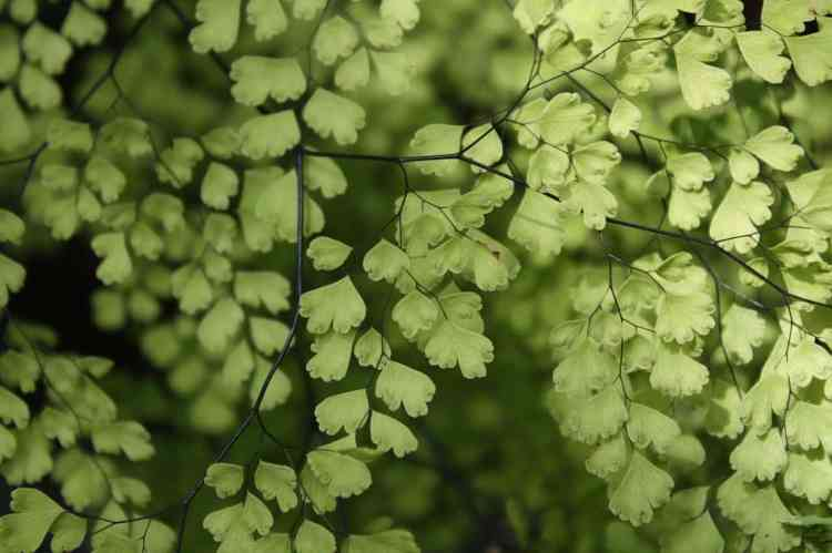 maidenhair fern houseplant