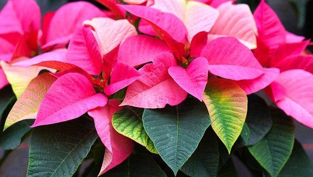 yellow leaves poinsettia