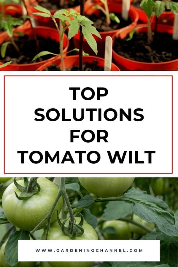 tomato seedlings and tomato plant with text overlay top solutions for tomato wilt