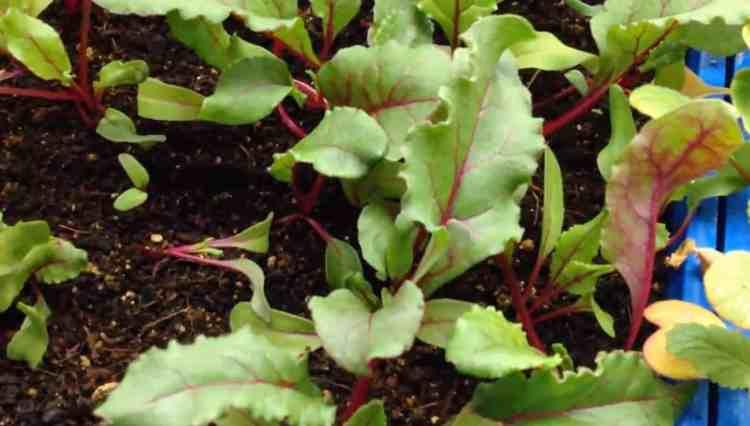 beets growing indoors