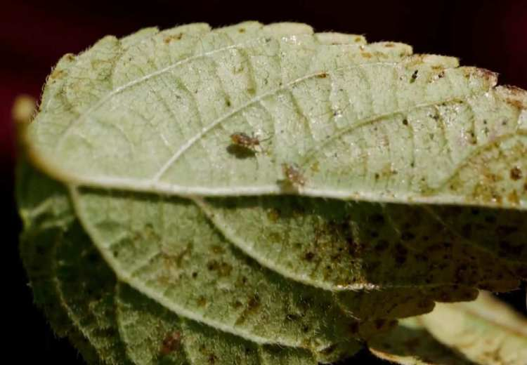 lace bugs on the underside of the leaf