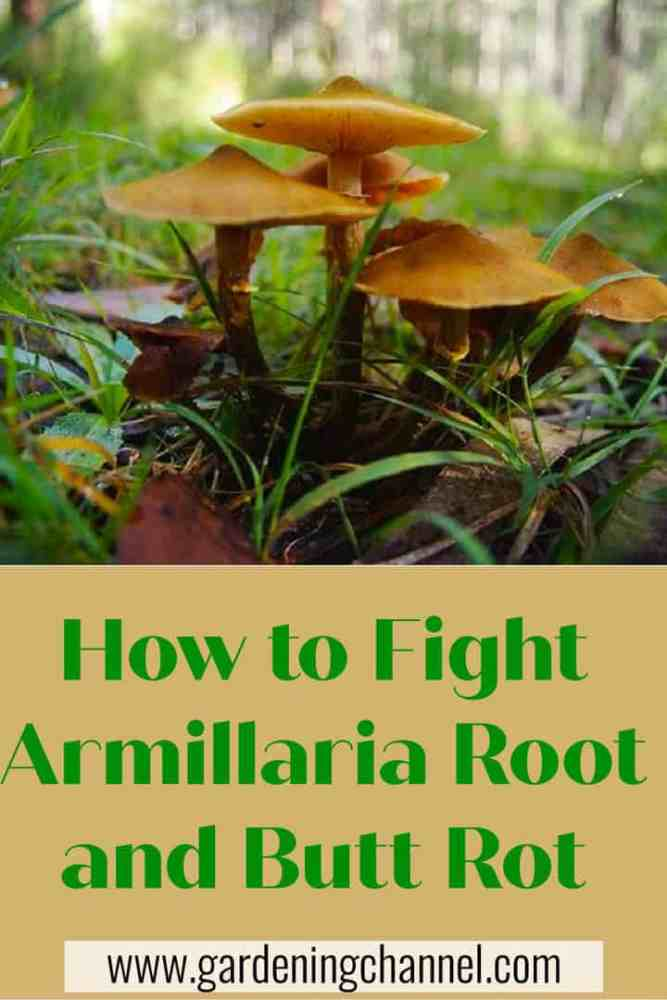 How to Fight Armillaria Root and Butt Rot