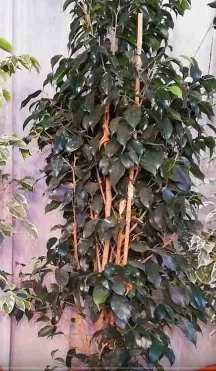 weeping fig indoor plant