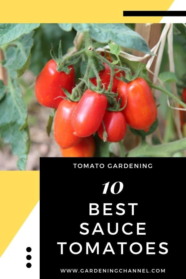 roma tomatoes in the garden with text overlay tomato gardening ten best sauce tomatoes