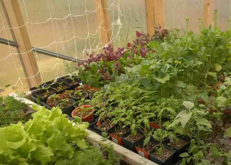 herbs growing in a greenhouse