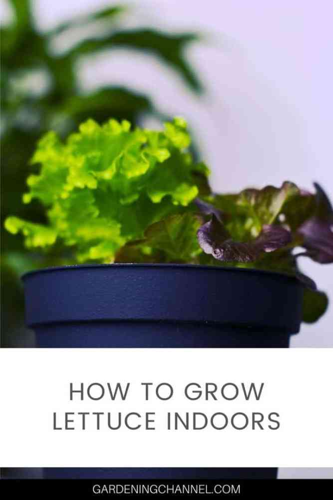 lettuce growing in container indoors with text overlay how to grow lettuce indoors