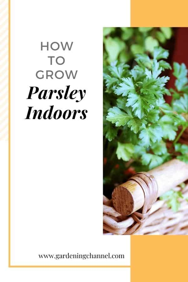 parsley growing in basket with text overlay how to grow parsley indoors