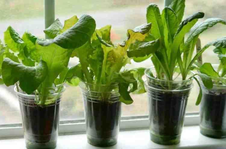lettuce in a cup growing in a window