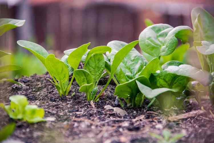 Spinach in garden