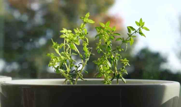 thyme in a window growing indoors