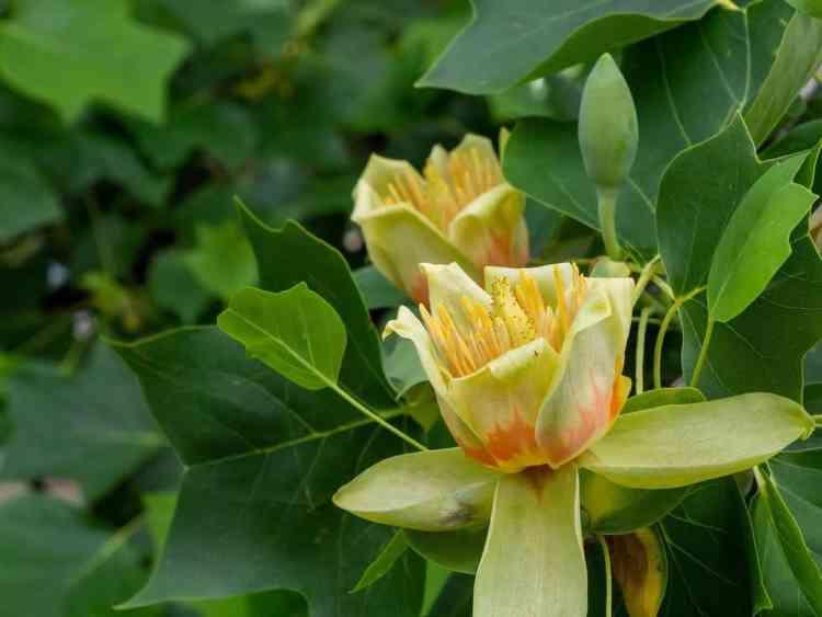 Tulip tree