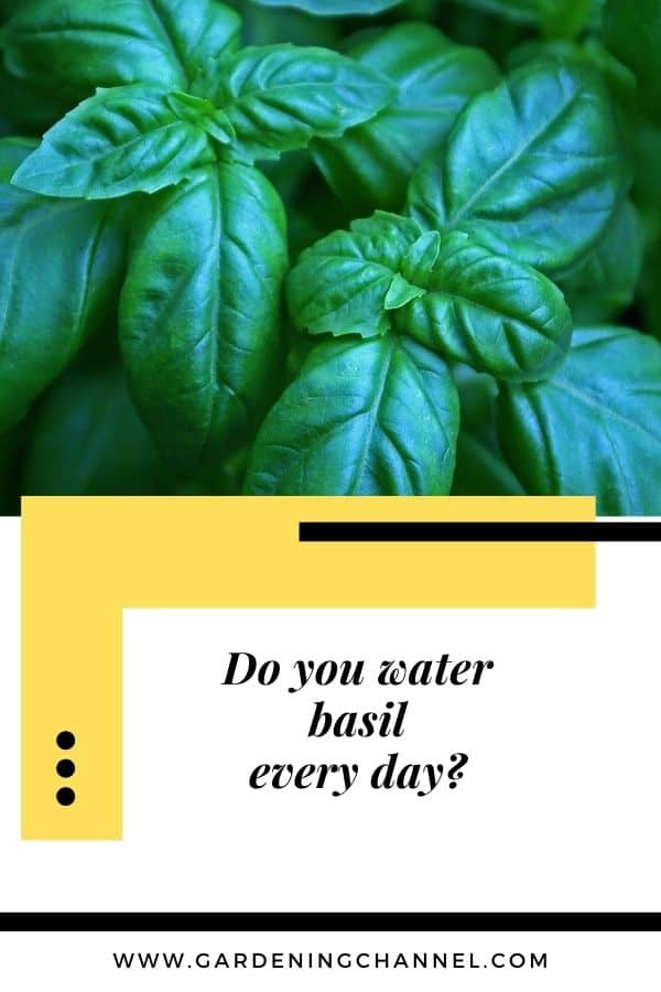 basil gardening with text overlay Do you water basil every day?