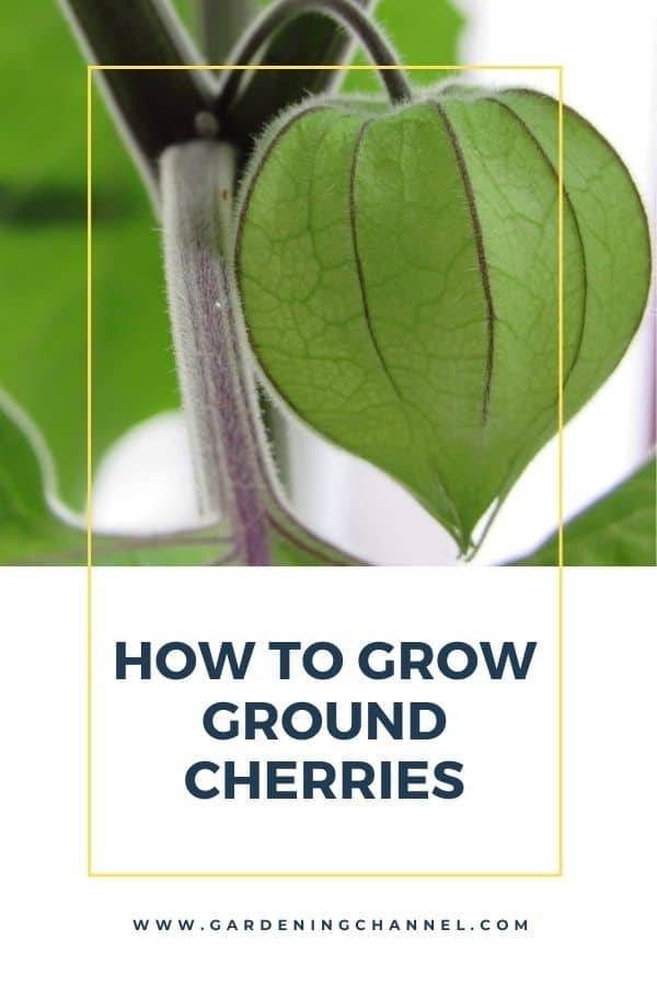 Ground cherry plant with text overlay how to grow ground cherries