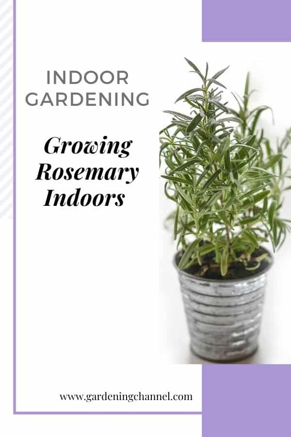 container rosemary with text overlay indoor gardening growing rosemary indoors