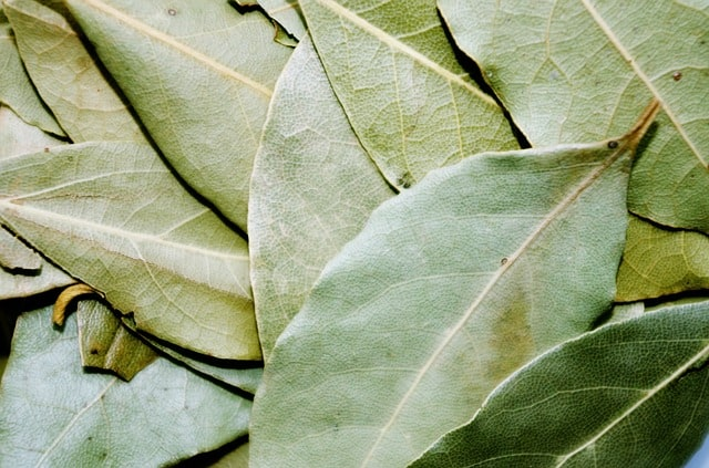 growing your own bay leaf