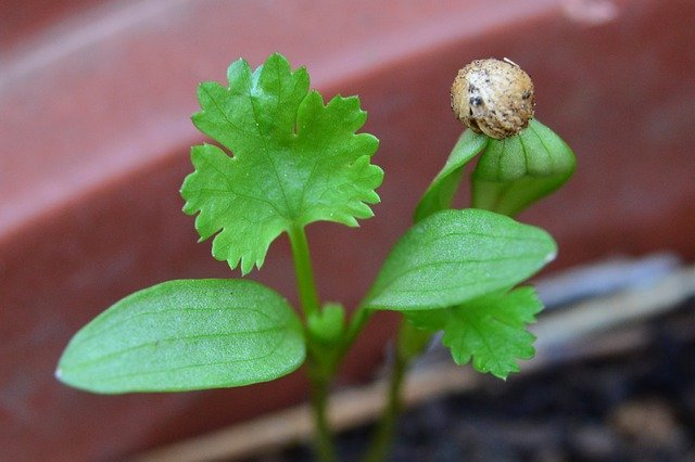 seed starting cilantro