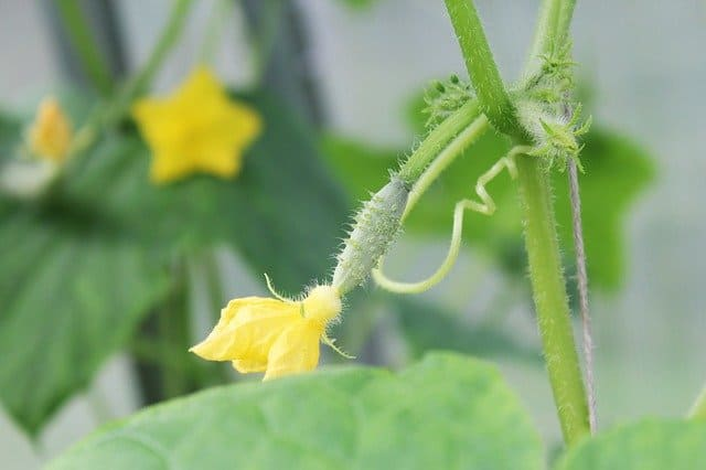 growing cucumbers in greenhouse