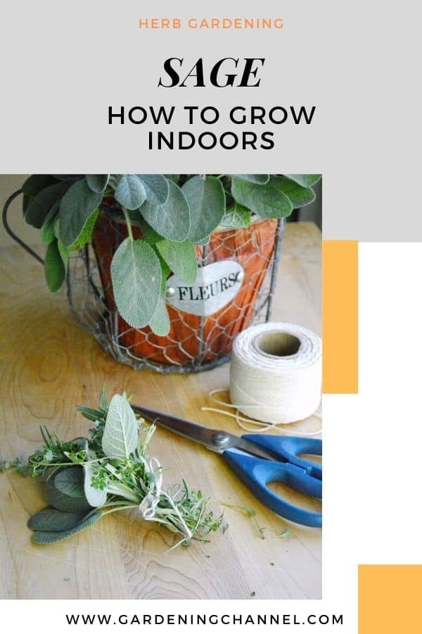 sage growing in container with text overlay herb gardening sage how to grow indoors