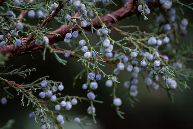 juniper trees to attract birds