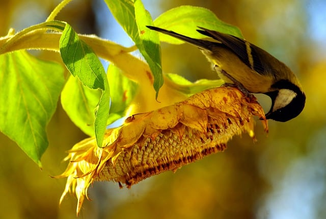 growing sunflowers to attract birds